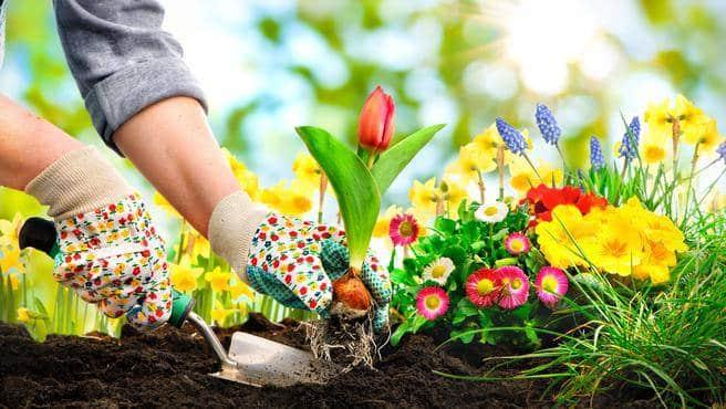 Tulpen in dem Garten pflanzen