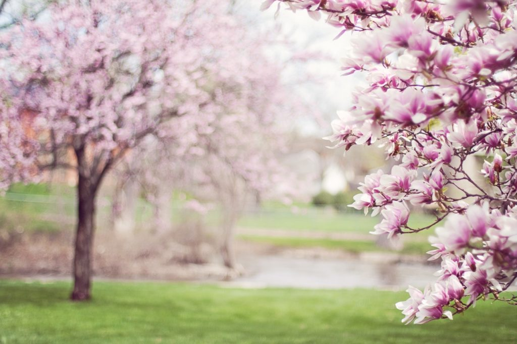 Rosa Kirschenblüten