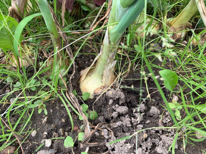 Detail an die Zwiebel im Garten