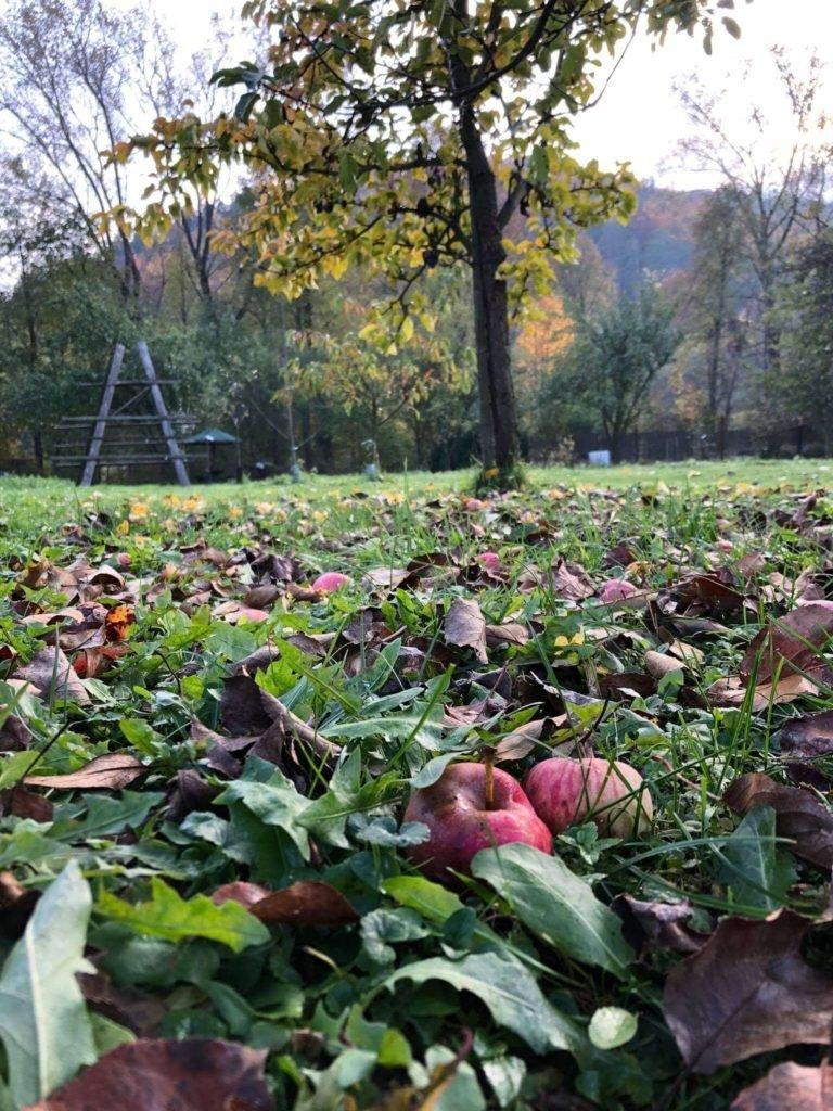Gefallene Äpfel im Garten